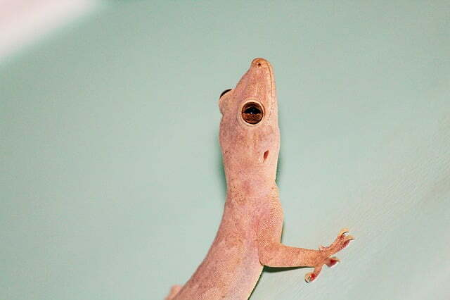 If Lizards Irritate You How To Get Rid Of Them