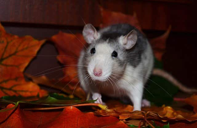 Some Amazingly Simple Tips To Keep Rats Out